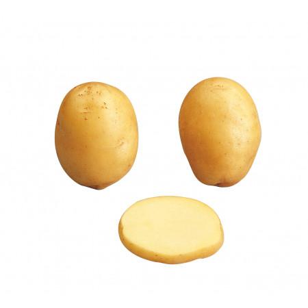 Plants de pommes de terre Agata 28/35 1,5kg +500g OFFERTS