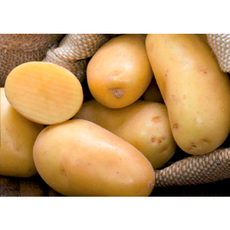 Plants de pommes de terre Michelle 28/35 1,5kg + 500g OFFERTS